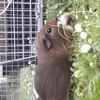 Eleonore, rongeur Cochon d'Inde