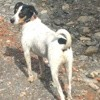 Elias, chien Parson Russell Terrier