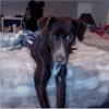 Elma, chien Épagneul breton