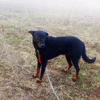 Eloy Disparu, chien Beauceron