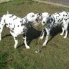 Elphy, chien Dalmatien