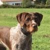 Emeraude, chien Braque allemand à poil raide