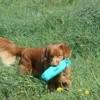 Emmi, chien Retriever de la Nouvelle-Écosse