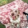 Enzo, chien Dalmatien