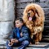 Ermei Des Lions Du Tibet, chien Dogue du Tibet