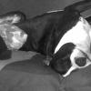 Eron, chien Staffordshire Bull Terrier
