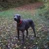 Falco, chien Braque de Weimar