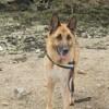 Fanzy, chien Berger allemand