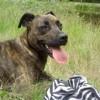 Faya, chien Boxer