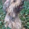 Fayette, chien Berger catalan