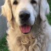 Feeling, chien Golden Retriever