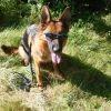 Festina, chien Berger allemand