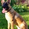 Fifi, chien Berger belge