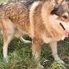 Flash, chien Chien-loup tchèque