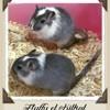 Fluffy Et Kitkat, rongeur Gerbille