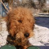 Foppe, chien Airedale Terrier