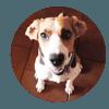 Foux, chien Beagle