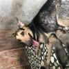 Foxie, chien Berger allemand