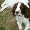 Foxy, chien Springer anglais