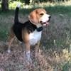 Francis, chien Beagle