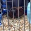 Frimousse, rongeur Cochon d'Inde