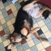 Frimousse, chien Berger allemand