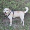Gaby, chien Grand Griffon vendéen