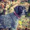 Gaia, chien Braque allemand à poil court
