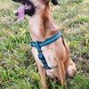 Gaia, chien Labrador Retriever