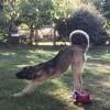 Gaia, chien Berger d'Anatolie