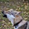 Galadriel, chien Chien-loup tchèque