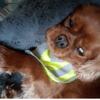 Gallax, chien Cavalier King Charles Spaniel