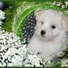 Gamine, chien Coton de Tuléar