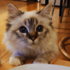 Gavroche, chat Birman