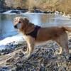 Golden Retriever : chien et chiot Retriever doré - Wamiz
