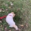 Gessy, chien Chihuahua