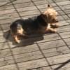 Gibus, chien Welsh Terrier