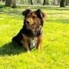 Giha, chien Teckel