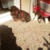 Gipo, chien Teckel