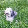 Gipsy, chien Berger des Pyrénées