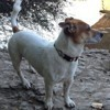 Gizmo, chien Jack Russell Terrier