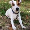 Gjumpy, chien Ariégeois