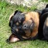 Glamour, chien Rottweiler