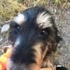Goliath, chien Griffon nivernais