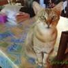 Photo de Pomponnette Où Chouchou, chat Gouttière - 443480
