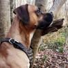 Guizmo, chien Boxer