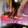 Gus Et Rémy, rongeur Rat