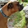 Gustave, chien Boxer