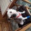 Guysmo, chien Yorkshire Terrier