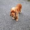 Haiko Pugibet, chien Cocker anglais
